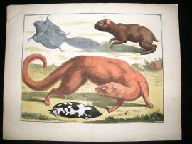 Albertus Seba: C1750 Egyptian Mongoose, Agouti, Flying Squirrel 61. LG Folio HC Print